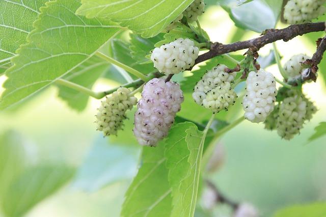 plody moruše na větvičce.jpg
